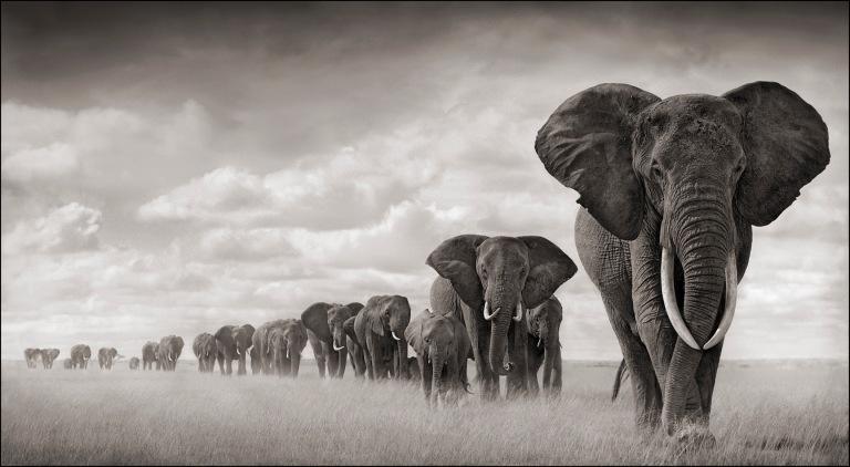 Elephant walking through grass, A SHADOW FALLS